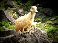 Hill-goatie!