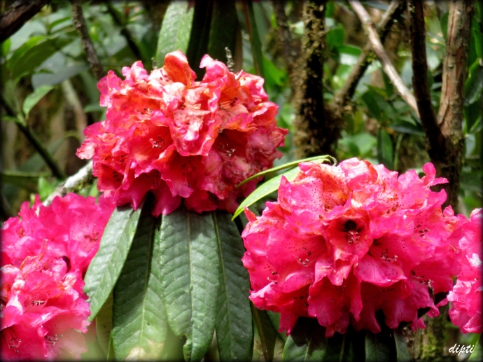Rhododendrons, national flower of Nepal